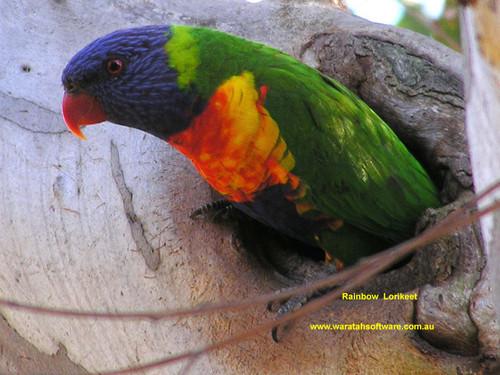 Rainbow Lorikeet Australian Parotts