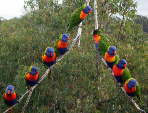Australia wallpaper possibly with an amazon entitled arcobaleno Lorikeet Australian Parotts
