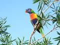 Rainbow Lorikeet Australian Parotts - australia wallpaper