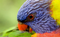 australia - Rainbow Lorikeet Australian Parotts wallpaper