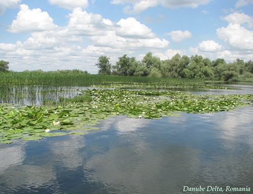 Romania landscape Water lilly in the Danube Delta rumänien
