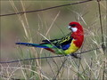 Rosellas - australia wallpaper
