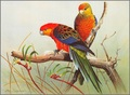 Rosellas - australia photo