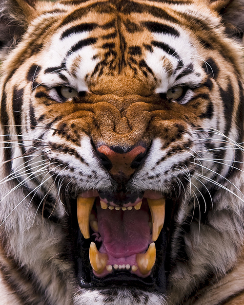 Tigers images Tiger wallpaper and background photos (32293802)