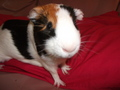 Xina the Guineapig - guinea-pigs photo