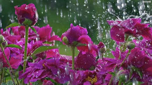 फूल in rain