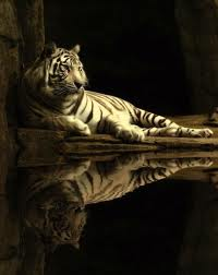 A Tiger's Reflection