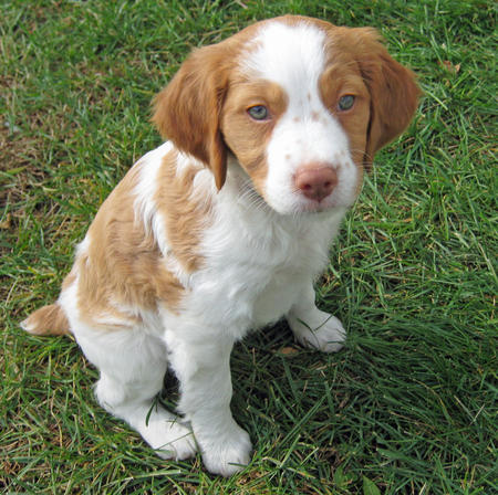 Springer Spaniels images Brittany Spaniel wallpaper and background photos