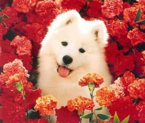 Dogs wallpaper probably containing a samoyed titled Dog
