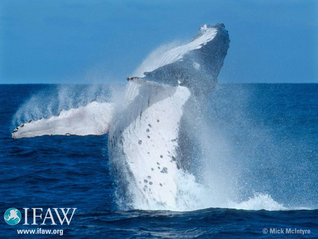 Humpback Whales Images Hump Back Whale Hd Wallpaper And