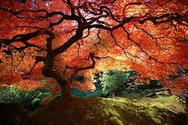 Japenese cây phong, maple Blossom