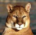 Puma - cougar-puma photo
