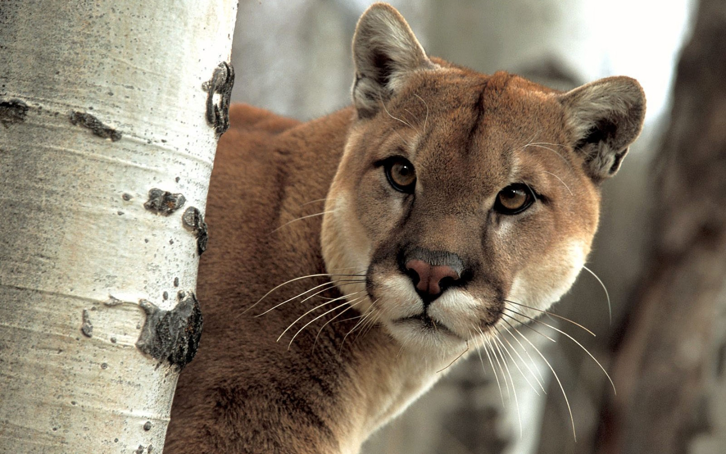 cougar puma images puma hd wallpaper and background photos 32301903. Black Bedroom Furniture Sets. Home Design Ideas