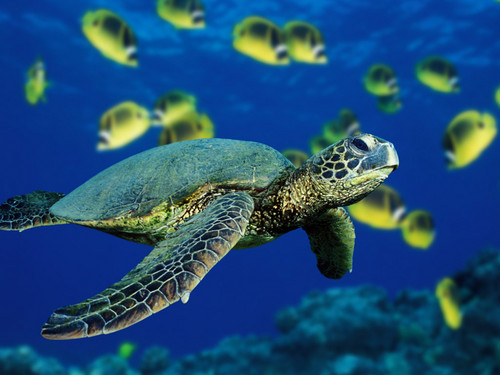 Sea Life 壁紙 with a hawksbill turtle, a green turtle, and a sea カメ entitled Sea Life