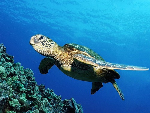 Sea Life wallpaper containing a hawksbill turtle, a green turtle, and a sea turtle entitled Sea Life