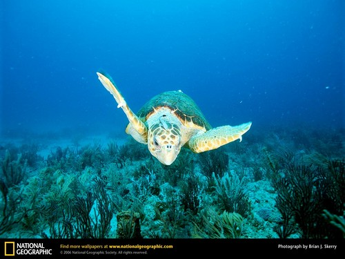 Sea Life wallpaper possibly with a hawksbill turtle and a green turtle titled Sea Life