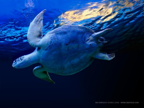 Sea Life Обои probably with a green turtle, a hawksbill turtle, and a sea черепаха entitled Sea Life
