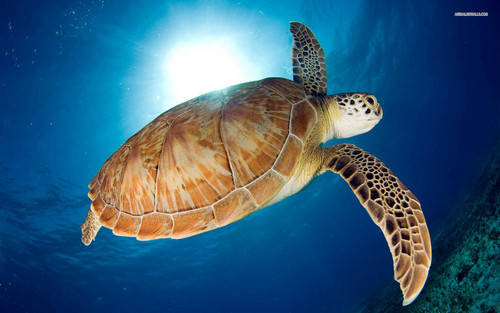 Sea Life দেওয়ালপত্র with a green turtle, a hawksbill turtle, and a loggerhead titled Sea Life