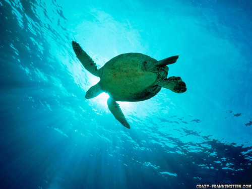 Sea Life wallpaper probably with a green turtle, a hawksbill turtle, and a sea turtle titled Sea Life