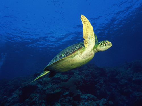 Sea Life 壁紙 with a hawksbill turtle, a green turtle, and a loggerhead entitled Sea Life