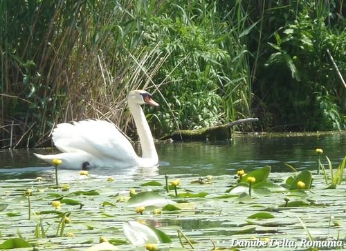 sisne in the Danube Delta Romania beautiful landscape Roumanie