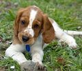 Welsh Springer Spaniel - springer-spaniels photo