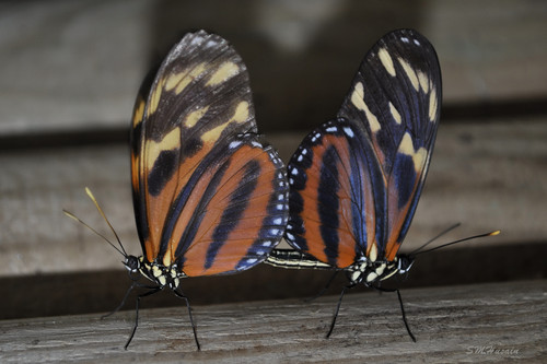 What's the name of Mating Butterflies?