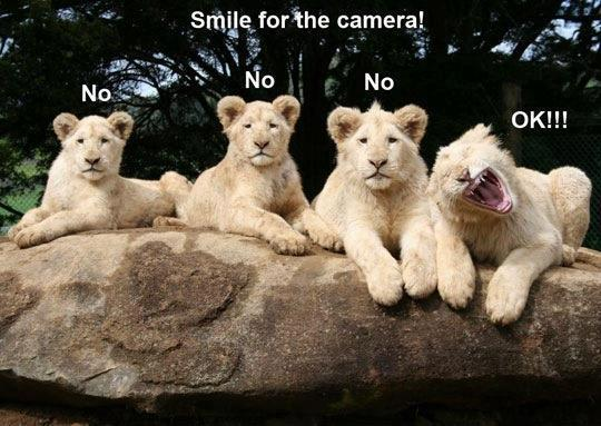 Beautiful Funny Pictures Funny Lions