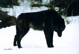 Black Wolves Images Big Black Wolf Wallpaper And Background Photos