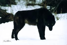 Big, Black lobo