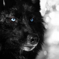 black wolves with blue eyes - photo #17