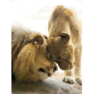 Lion l'amour