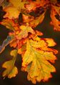 Lovely leaves - autumn photo