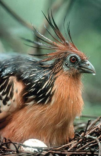 National Bird,Flower & Animal of Guyana