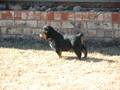 A future champ - rottweiler photo