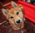 Beautiful Shiba Inu dog