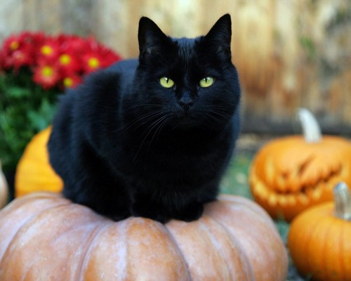 Random achtergrond with a pumpkin, a pumpkin, and an acorn squash entitled Black Cat
