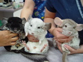 Chinchilla meeting - chinchilla photo
