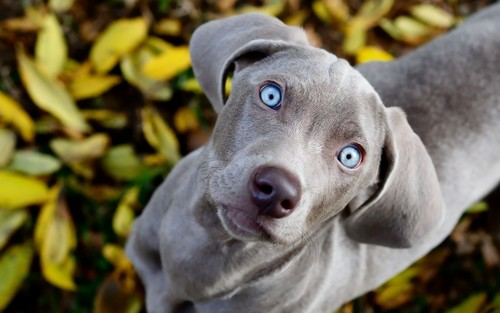 Dogs wallpaper with a weimaraner titled Dog