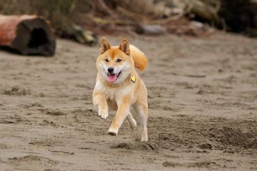 Shiba Inu running