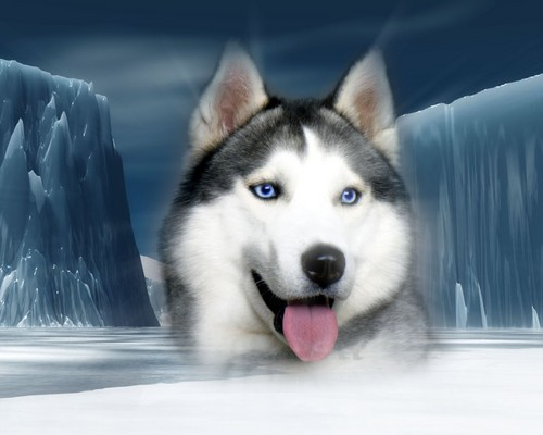 Dogs wallpaper called siberian Husky