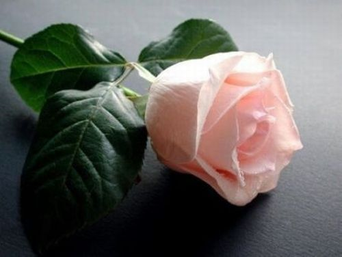 A Beautiful Rose For My 天使 Sister ♥