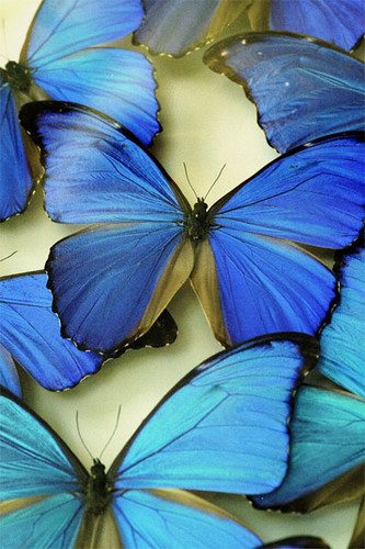 Butterflies پیپر وال probably with a garden nasturtium, a nasturtium, and a گہرے نیلے رنگ, پیتونیا titled Beautiful Blue Butterflies
