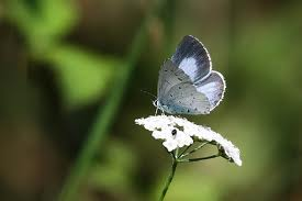 Butterflies wallpaper entitled Beautiful Blue Butterflies