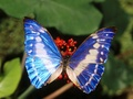 Beautiful Blue Butterflies - butterflies wallpaper