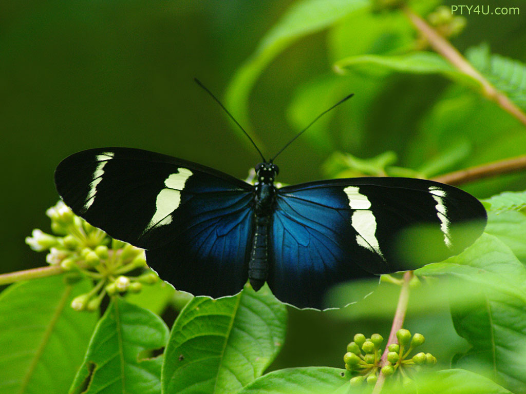 Butterflies images Beautiful Blue Butterflies HD wallpaper and