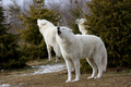 Beautiful White Wolves - wolves photo