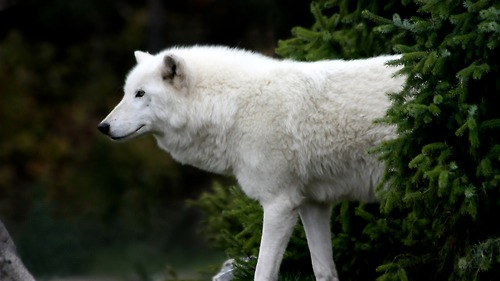 Beautiful White loup