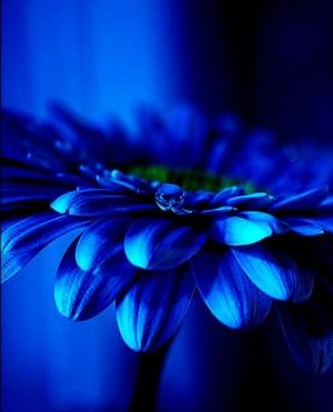 Blue Garbera