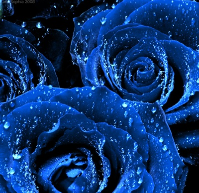 Flowers images blue roses wallpaper and background photos